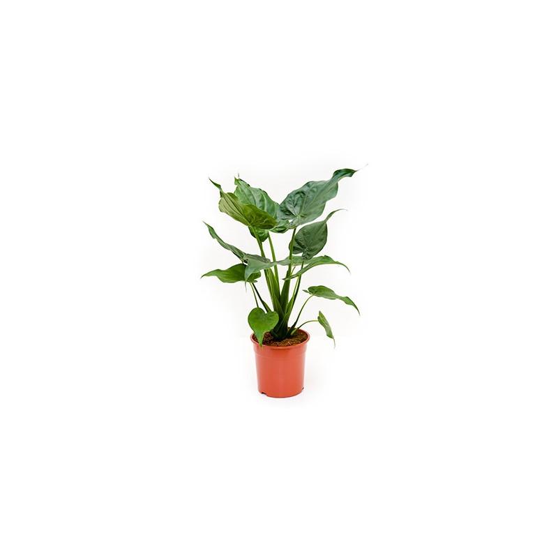 Vente d 39 alocasia alocasia cuculata for Alocasia d interieur