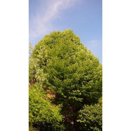 """Carpinus betulus """"fastigiata""""(charme)"""