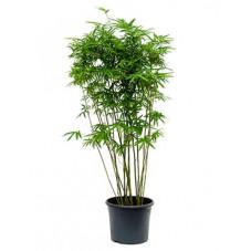 bambusa arundinaria