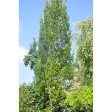 Quercus robur fastigiata (chène fastigié)