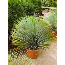 yucca rostrata - tête - 100 cm