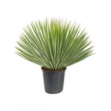 Yucca rostrata - tête