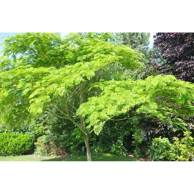 arbre à soie