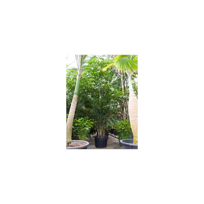 Vente de palmier tr s grande taille - Vente arbres grands sujets ...
