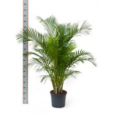 palmier d'arec  (areca) -...