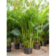 palmier d'arec - areca -...