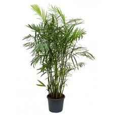 palmier bambou (chamaedorea...