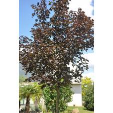 "Acer platanoides ""crimson king"" (érable pourpre )"