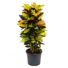 Croton iceton - 110 cm