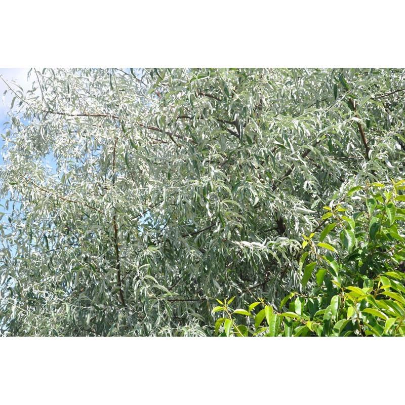 olivier de bohème