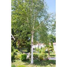 Betula utilis ( bouleau à bois blanc )