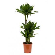 dracéna green jewel (dracaena)