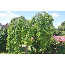 "Prunus serrulata ""kiku shidare sakura"" (cerisier à fleurs pleureur )"