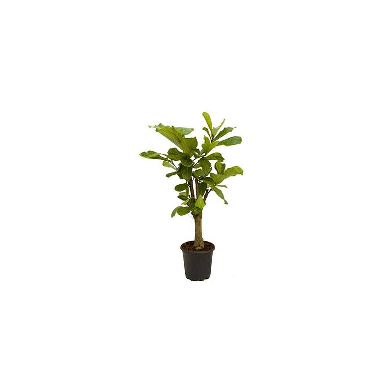 Vente de ficus lyrata tige 100 cm for Vente de plantes sur internet