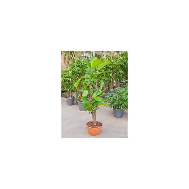 Vente de figuier lyre 140 cm ficus lyrata for Acheter plante interieur