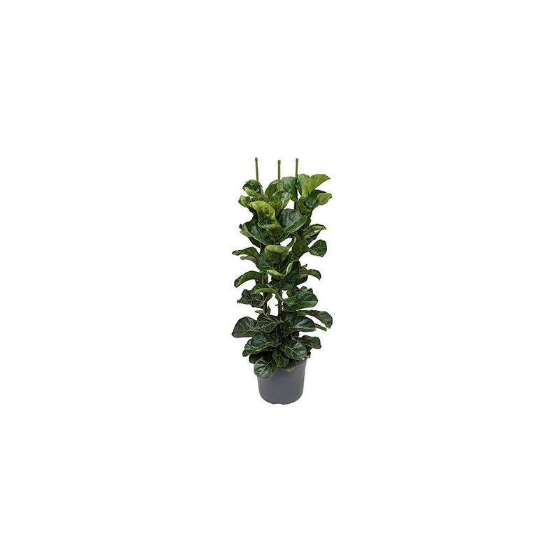 Vente de plantes d 39 int rieur ficus lyrata bambino for Ficus plante interieur