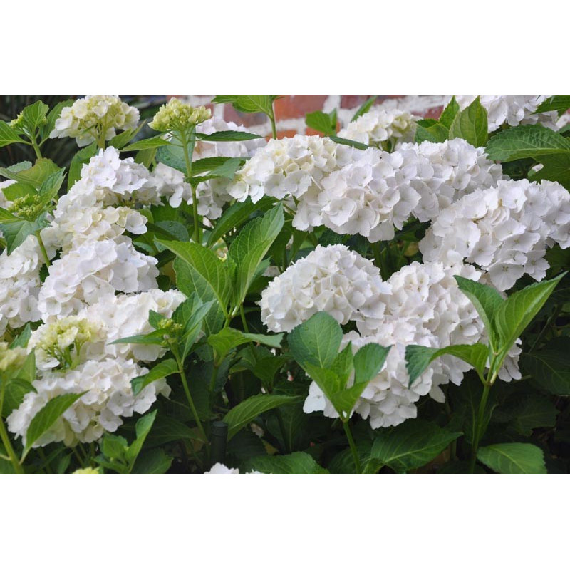 Hydrangea (hortensia)