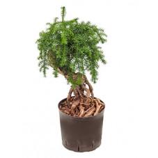Araucaria cunninghamii - 65 cm