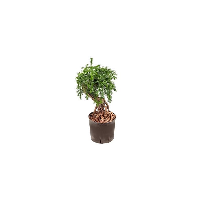 Vente de plantes vertes araucaria cunninghamii for Vente plantes vertes