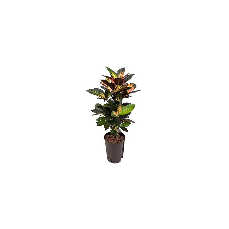 Vente de plante verte croton iceton for Vente plante verte