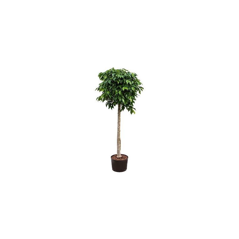 Vente de ficus benjamina columnar 180 cm for Ficus plante interieur