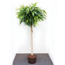 ficus ali tige - 170 cm