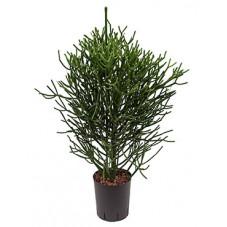 euphorbia tirucalli - 90 cm