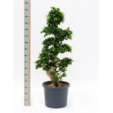 ficus microcarpa - tige 170 cm