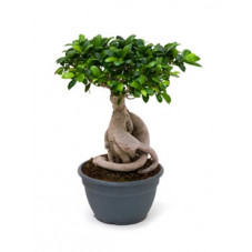 Ficus microcarpa ginseng 45 cm