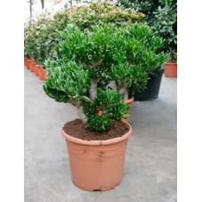crassula horn tree - 80 cm