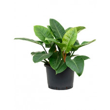 philodendron impérial green