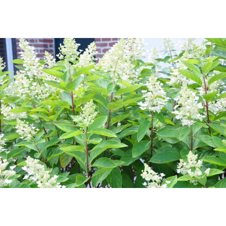 """Hydrangéa paniculata """" kyushu"""""""