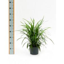 vente de muguet du japon ophiopogon japonicum. Black Bedroom Furniture Sets. Home Design Ideas
