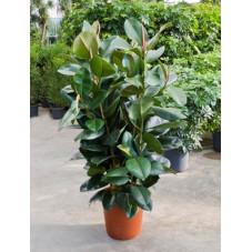 ficus robusta ramifié 160 cm