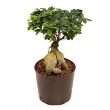Ficus microcarpa ginseng 60 cm