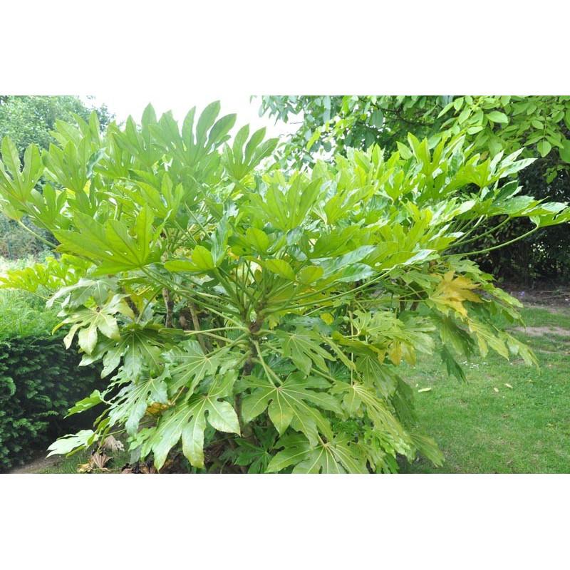 Aralia sieboldii ( fatsia japonica )