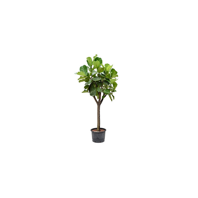 rempotage olivier bonsai