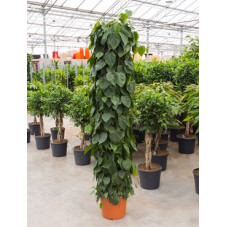 philodendron scandens -...
