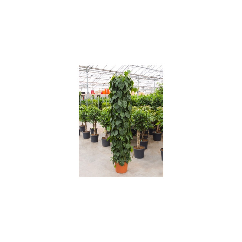 philodendron scandens - grandes tailles