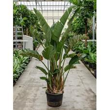 Strelitzia nicolai  - 200 cm