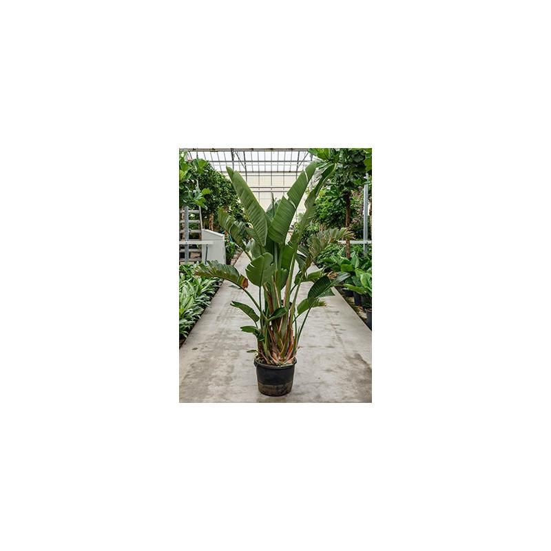 Vente de strelitzia nicolai 200 cm for Ou acheter plante interieur