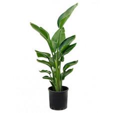 strelitzia nicolai - 100 cm