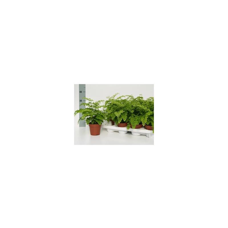 Vente de plantes vertes adianthum raddianum fragrans for Vente plantes vertes
