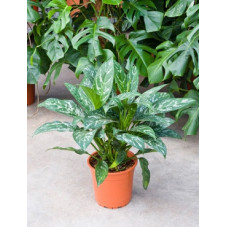 aglaonema green lady