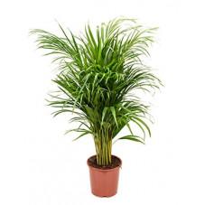 palmier d'Arec - areca 100 cm
