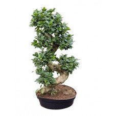 Ficus microcarpa compacta...