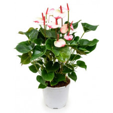 anthurium and. Amalia elegance