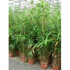 bambou du Japon 175 cm