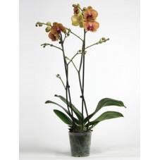 orchidée - phalaenopsis Apollo