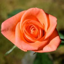 rosier orange à grosses...